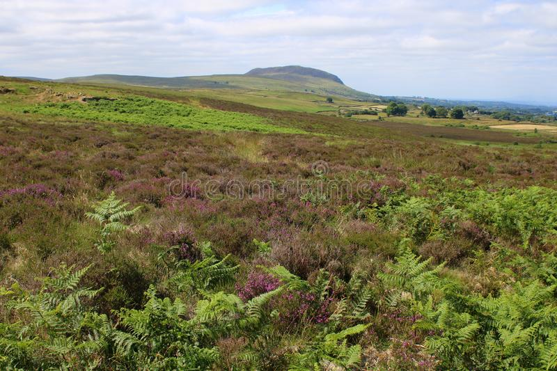 Small mountain with heather and ferns royalty free stock image