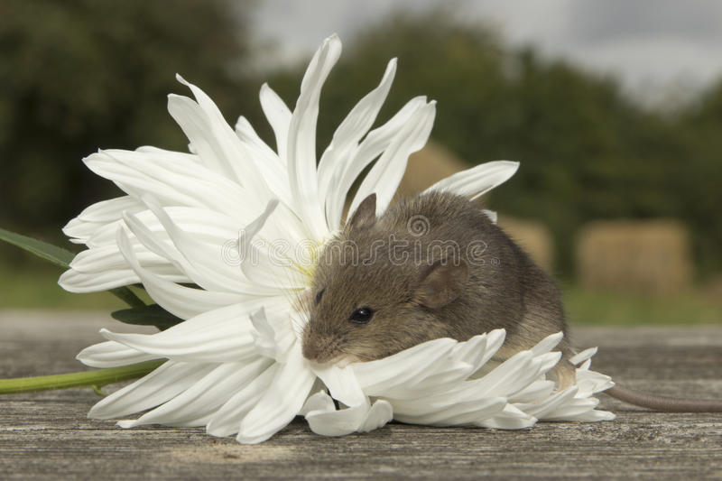 Download Small Mouse With The Flower Stock Photo - Image of pee, vole: 26571670