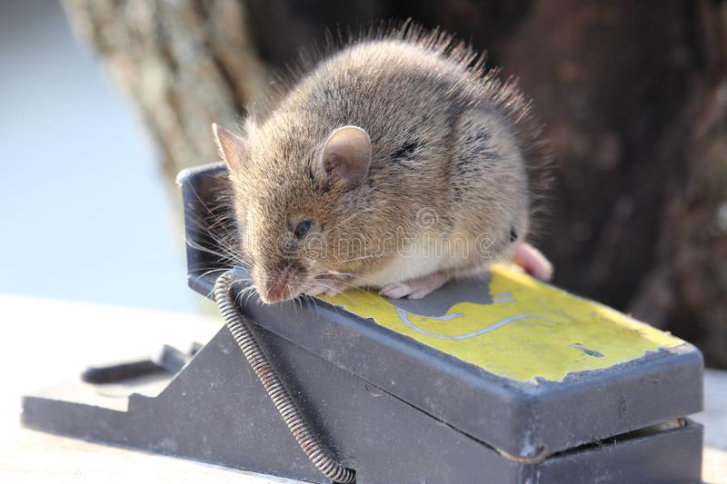 Small mouse sits on a mousetrap stock photo