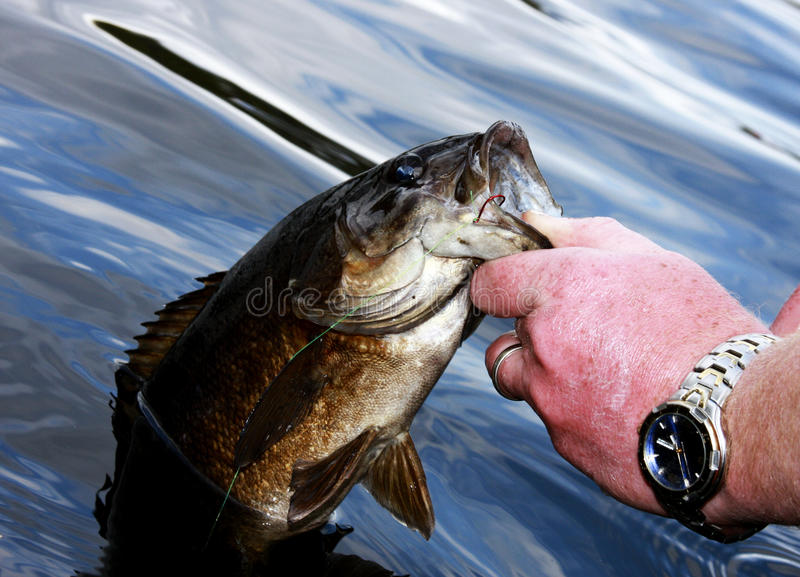 Small mouth bass close up. Fisherman pulling a bass from the lake by the lip royalty free stock images