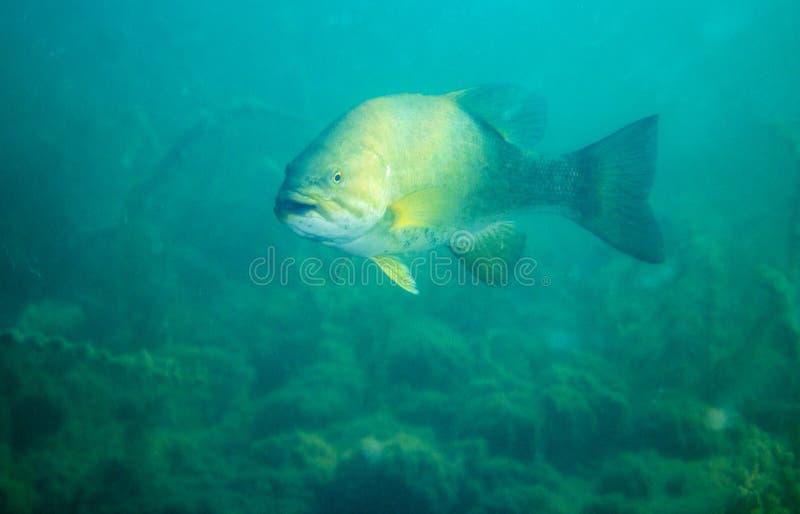 Small mouth Bass in lake Simcoe, Ontario. A Small mouth bass looking for food in Lake Simcoe Ontario royalty free stock photos