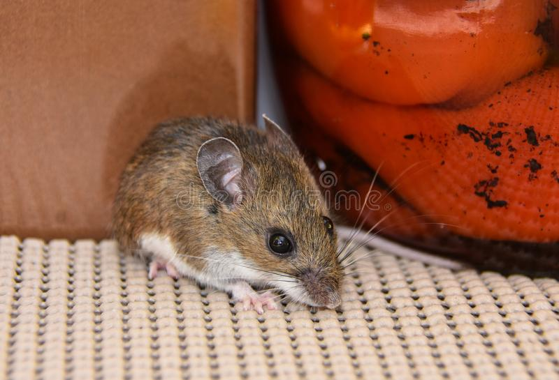 Close Up View Of A Wild Gray House Mouse In A Kitchen Cabinet With ...