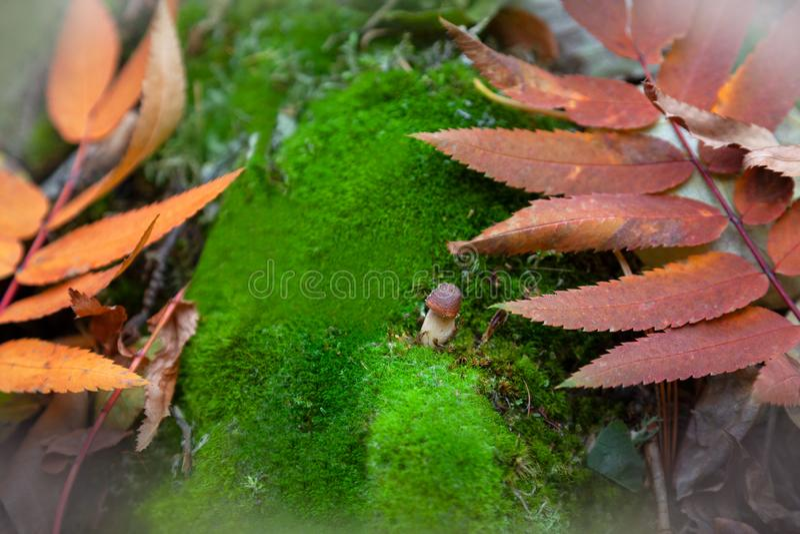 Small mushroom among green moss and colorful leaves stock image