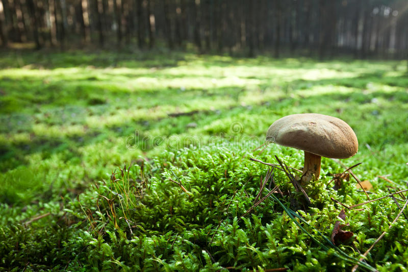 Small mushroom in misty forest stock photo