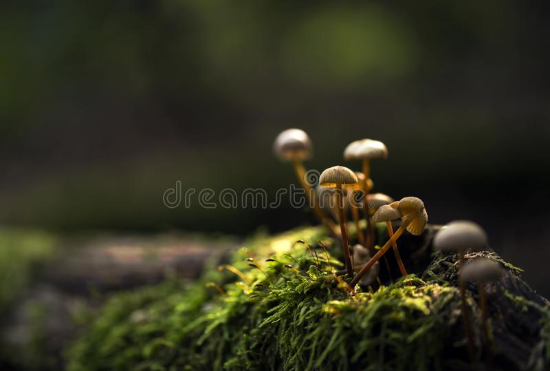 Small mushrooms growing on a moss. Lit by sun stock photography
