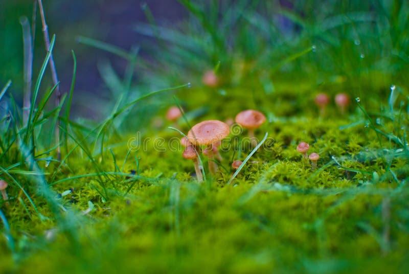 Small mushrooms toadstool warm autumn stock images