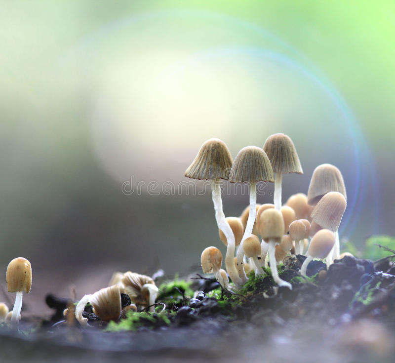 Free Small Mushrooms Toadstools Deadly Dangerous Stock Images - 45556044
