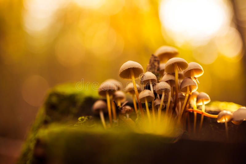 Small mushrooms toadstools. Group of beautiful mushrooms in the moss on a log stock photos