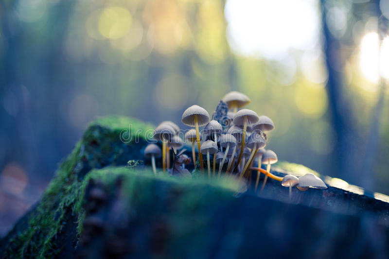 Small mushrooms toadstools. Group of beautiful mushrooms in the moss on a log. Beautiful background concept stock photos