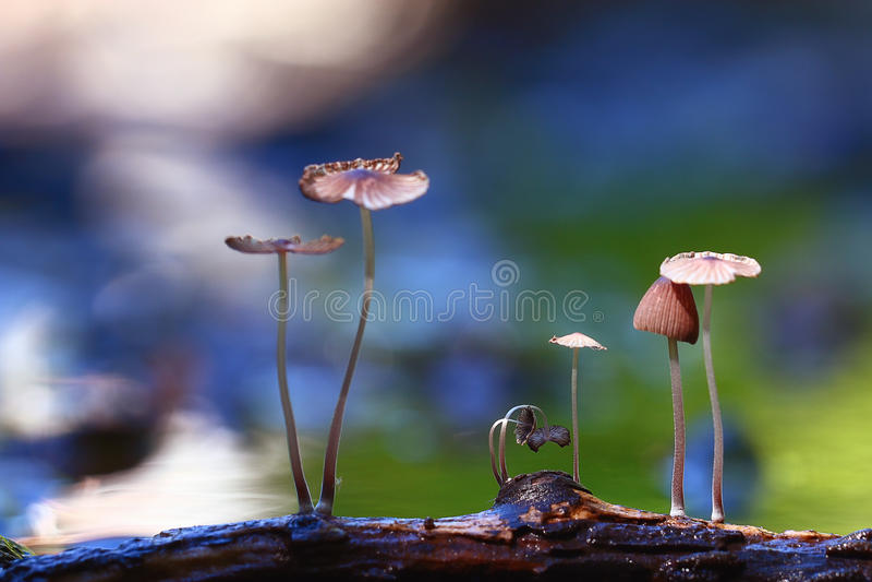 Small mushrooms. Toadstools macro poisonous stock photo