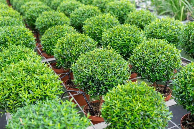 Small myrtle round plants royalty free stock images