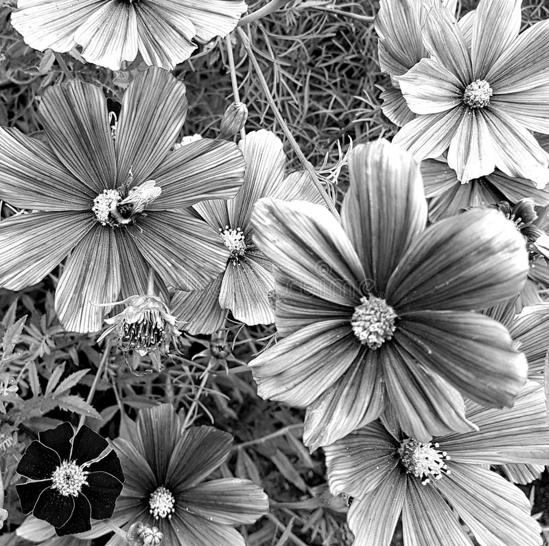 Black and white greyscale photo of cosmos flowers with a bee. Small narrow bumble honey bee pollenating a grayscale cosmos flower royalty free stock photo