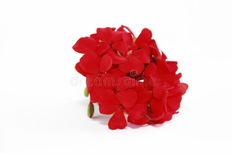 Small natural flowers of red geranium on a white background. Small natural flowers of red geranium on a white a background stock photography