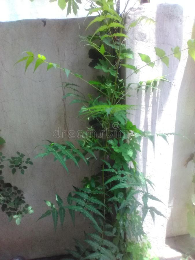 Small neem plants stock image