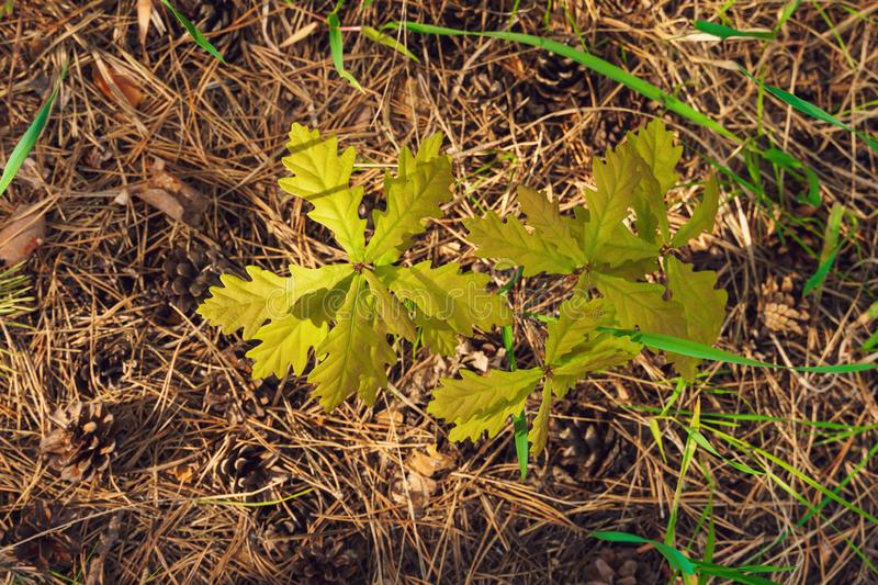 Small new growing oak tree of coniferous forest royalty free stock photography