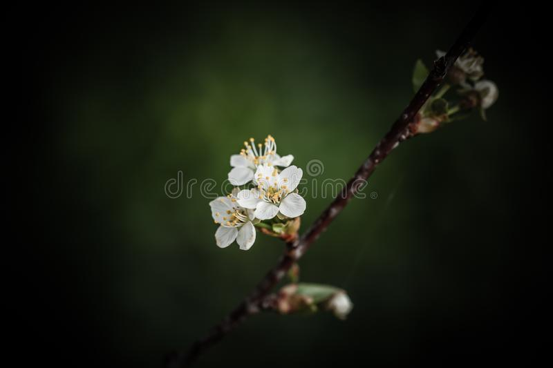 Small new leaves on an cherry tree branch. Spring in the garden. Selection focus. Shallow depth of field. Toned royalty free stock photography