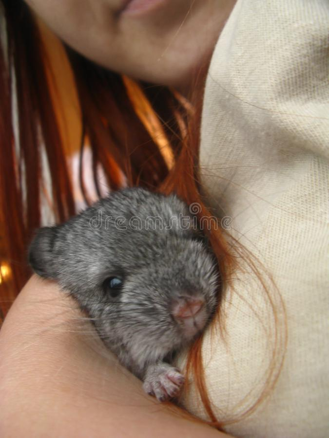 A small newborn baby chinchilla sits in the hands royalty free stock image