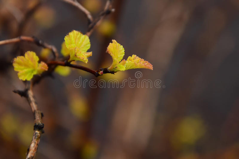 Small newborn leaves royalty free stock photography