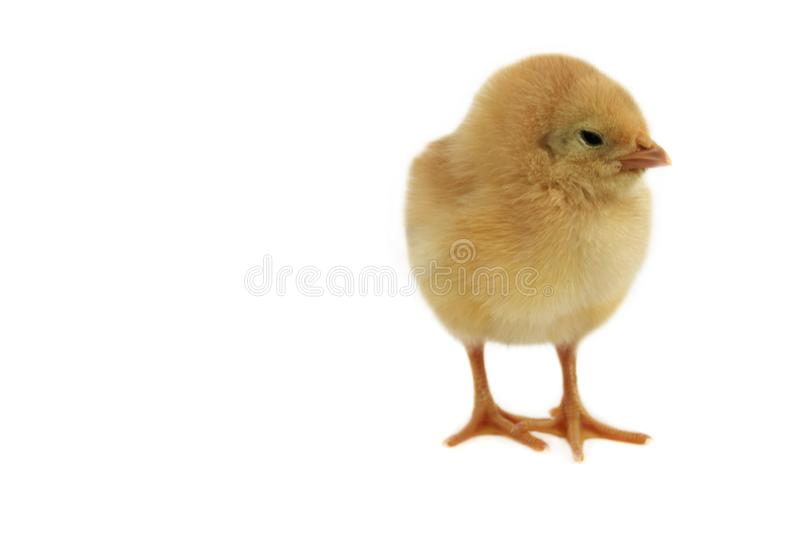 Small nice chicken royalty free stock photography