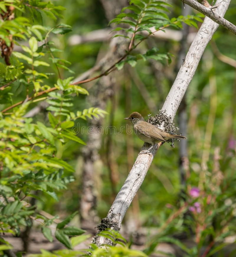 Small nightingale bird sitting on dead branch. Wild royalty free stock images