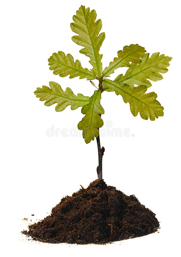 Small oak tree. Isolated on white royalty free stock photography