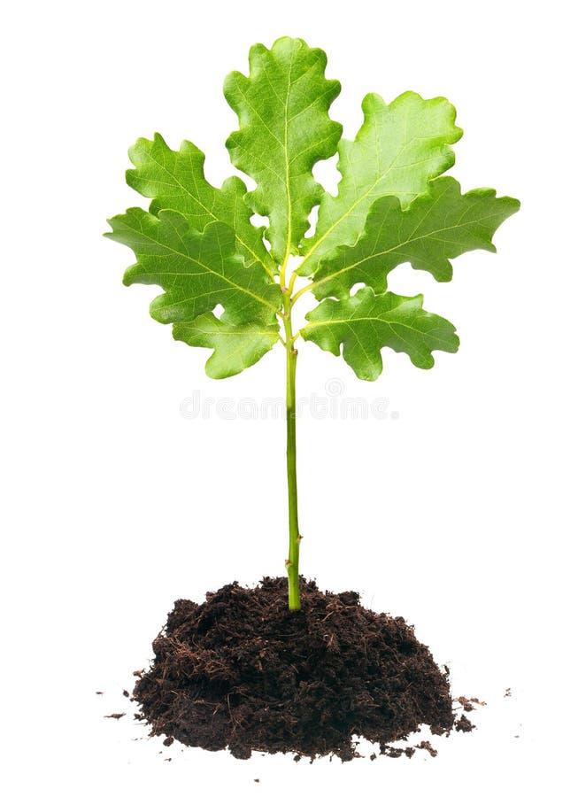 Small oak tree. Isolated on white background stock photos