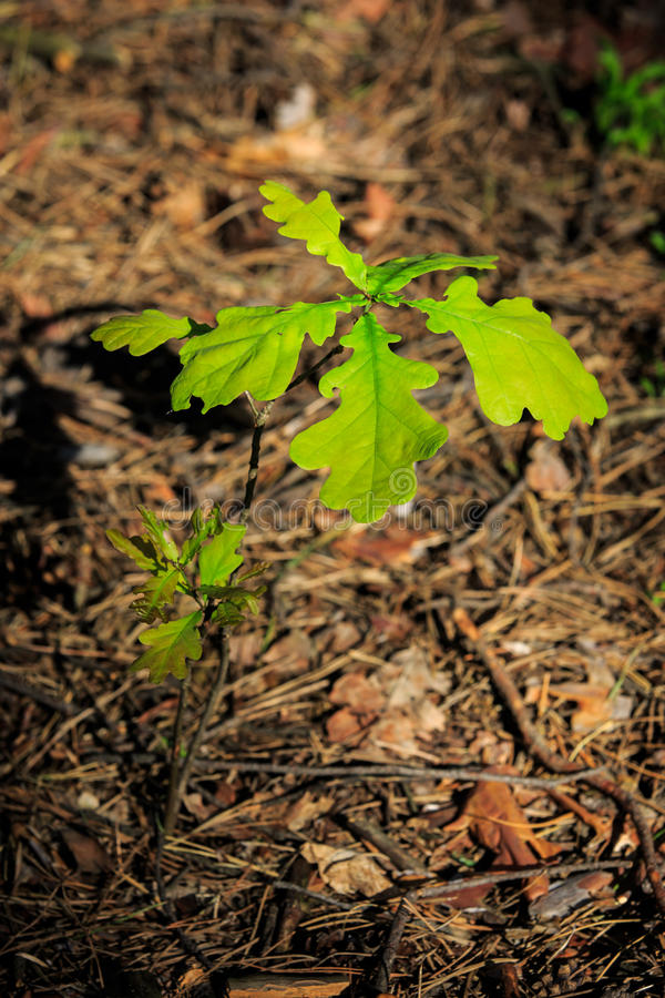 Small oak tree sprout. Small oak tree in forest royalty free stock photo