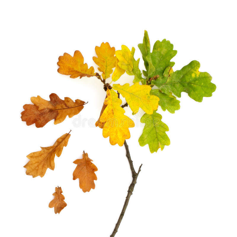 small oak tree stock image
