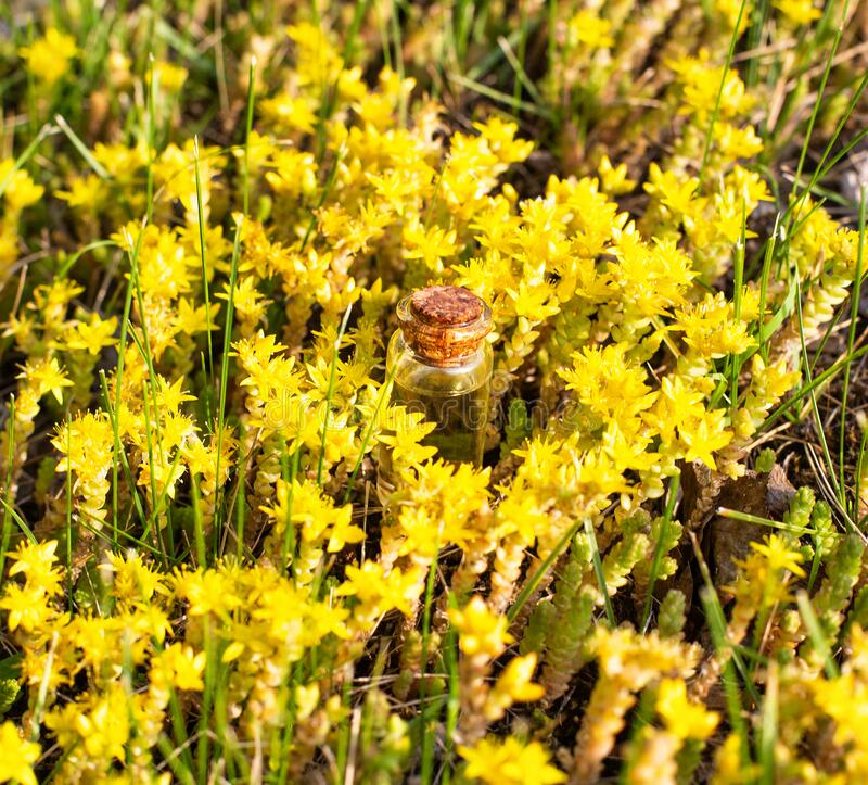 A small oil bottle lies in the yellow colors of hypericum on the field. The concept of medicinal hypericum oil in medicine and royalty free stock images