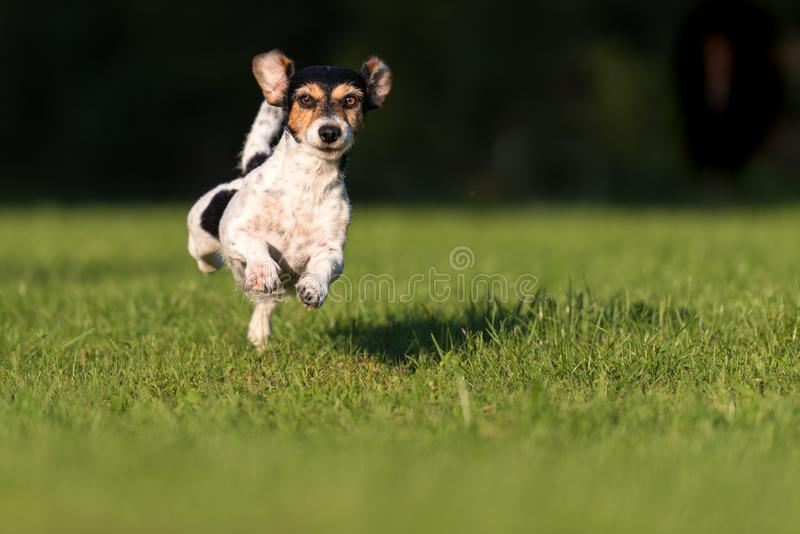 Small cute old dog runs and flies over a green meadow in spring - Jack Russell Terrier Hound 10 years old. Small old dog runs and flies over a green meadow in royalty free stock photography