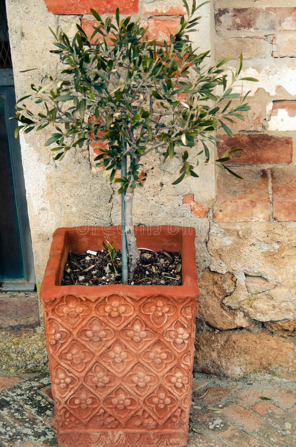 Olive tree in pot royalty free stock photo
