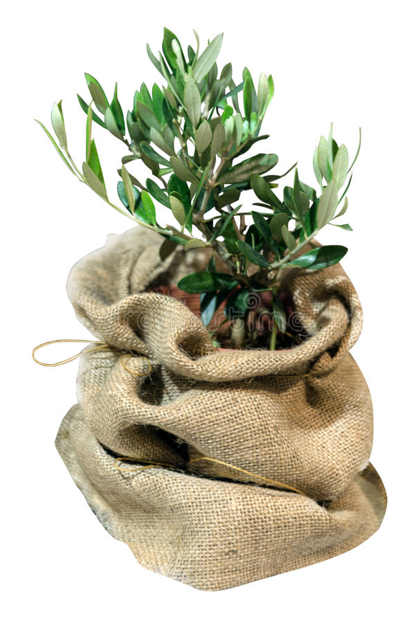 Small olive tree in the bag. Isolated on the white background royalty free stock photo