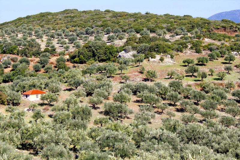 Olive grove in Kalamata, Greece. Small olive trees growing, olive grove in Kalamata, Peloponnese, Greece royalty free stock images