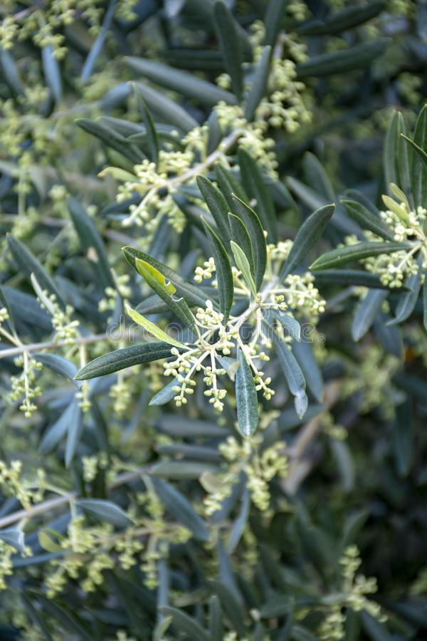 Small olives growing on olive tree en spring after blossom stock photos