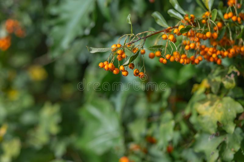 Small orange berries with green leaves. Hawthorn autumn berries. Soft focus. Nature blurred background. Shallow depth of field. royalty free stock photos