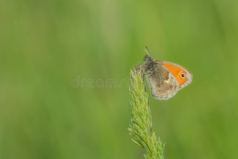 Small orange butterfly on grass royalty free stock images