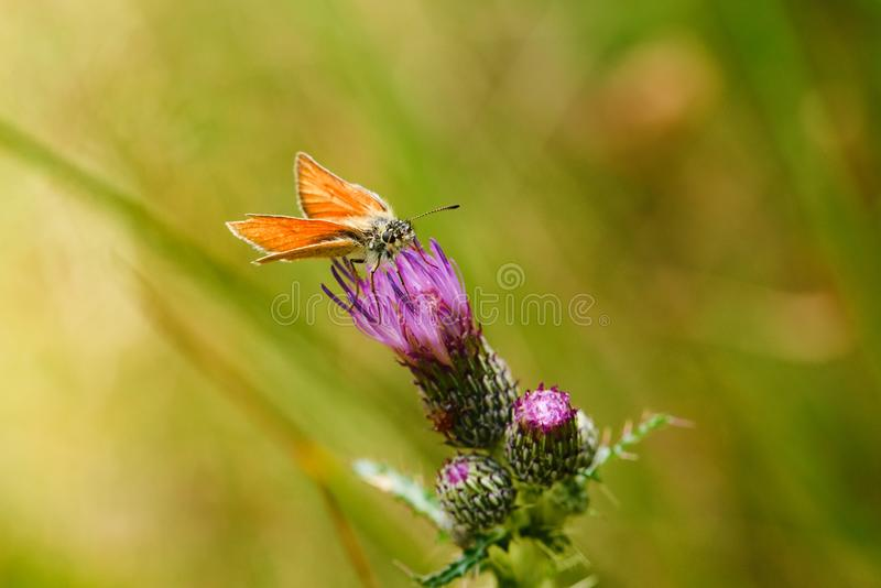 Small orange butterfly on orange bloom of thistle royalty free stock images