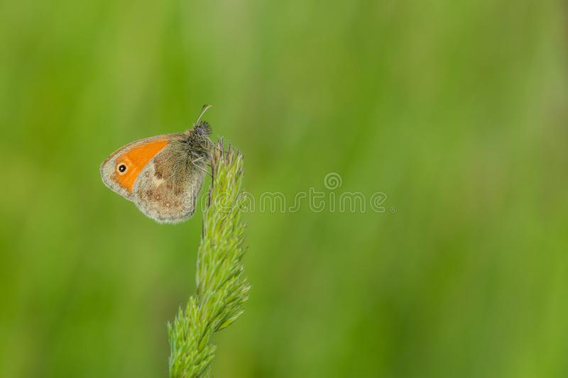 Small orange butterfly sitting on grass royalty free stock image