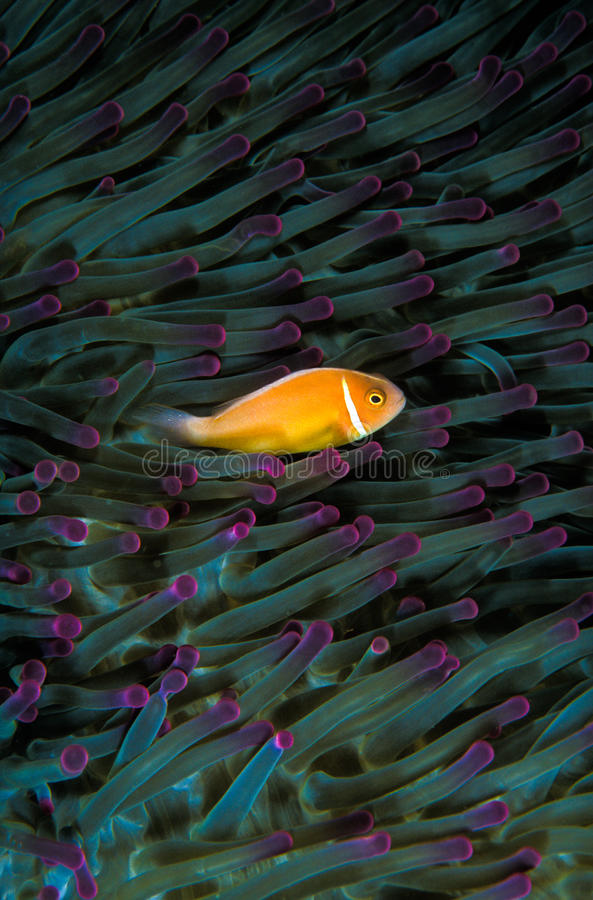 A small orange clown fish swimming against the dark green tendrils of an anemone. A small orange clownfish with a white stripe swimming along the tentacles of a royalty free stock images