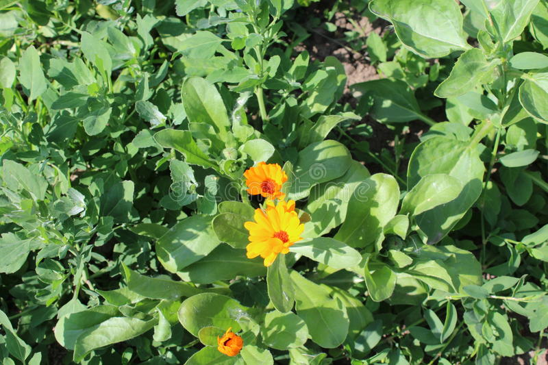 Small orange flowers grow in the field. stock photography