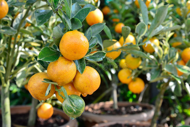 Orange tree fruits. Small orange fruits on plant, orange tree royalty free stock photography