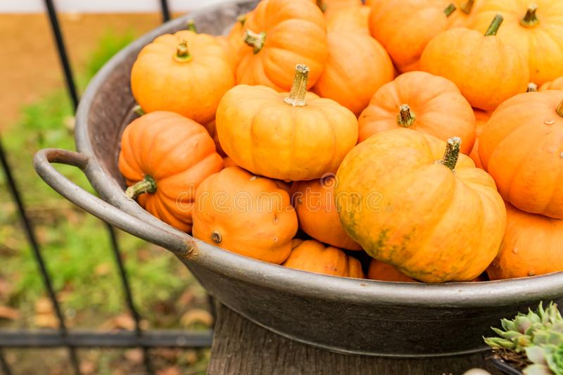 Small orange pumpkins in metall basket. Rustic style. Stall at Farmers market.  stock image