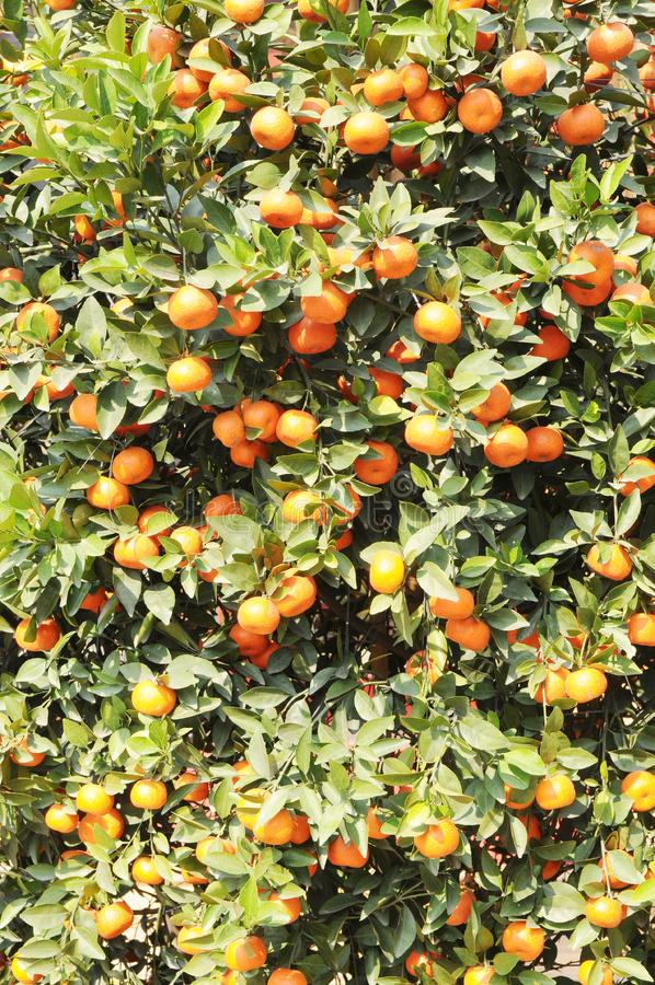 Download The small orange tree stock image. Image of background - 7891605