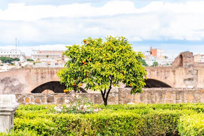 Small orange tree in garden of Roman Forum, Rome, Italy.  stock photography