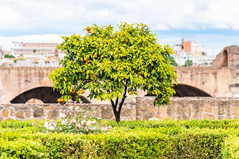 Small orange tree in garden of Roman Forum, Rome, Italy.  stock photos