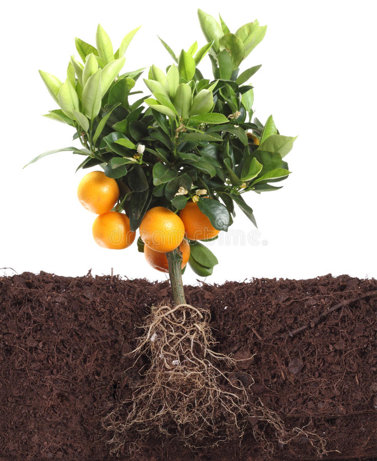 Small orange tree isolated on white with root. In dirt stock images