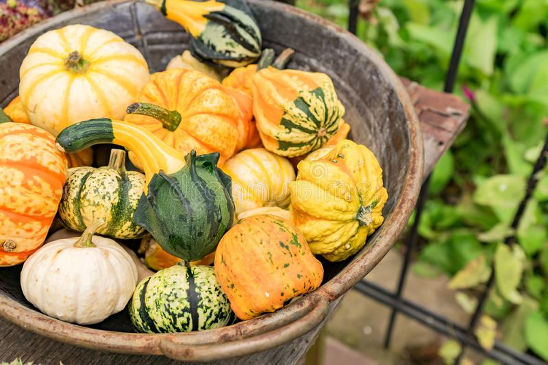 Small orange, white and green pumpkins in metall basket. Rustic style. Stall at Farmers market.  stock photos