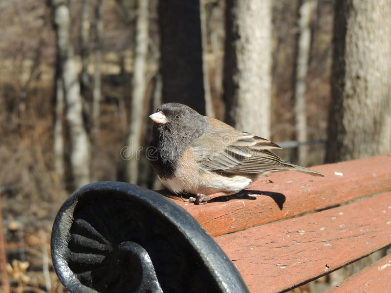 Small Oregon black eyed Junco bird perched on the back of a park bench royalty free stock photos