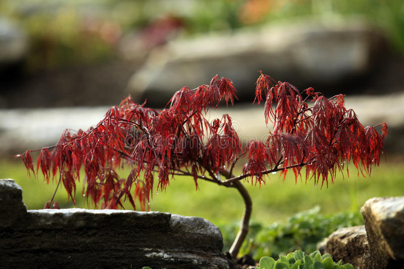 Small ornamental maple tree stock photos