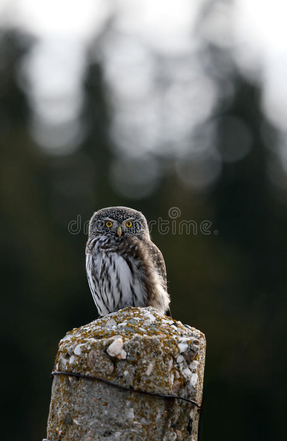 Small owl royalty free stock images